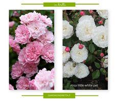 10 rose che tollerano l'ombra - un giardino in diretta