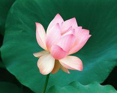 lotus flower photos image