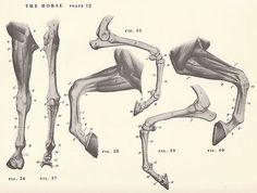 Caballo Vintage pierna pezuña anatomía conjunto por niminsshop, $8.00
