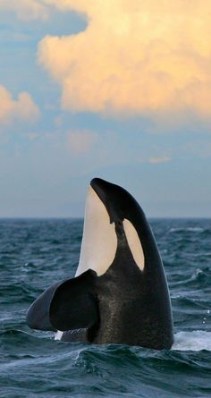 Killer whales on North Island, New Zealand