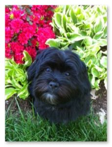 Derby City Havanese  (borrowed from Derby City Havanese- not my baby but gorgeous) Looks like my Chico. sc