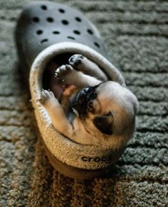 "Pug puppies make crocs look good! As a big fan of crocs' comfort, I would amend this to ""make crocs look better"""