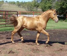 Gold Champagne      Red (chestnut or sorrel) based horses are shades of gold with a mane and tail color that ranges from white to the same color as the body (self colored). They often appear identical to palominos, and care must be taken not to confuse the two genotypes. Older champagne horses, whose eyes and skin have darkened, are especially prone to this mistake; and there are also some palomino horses who display a heavy dilution with lighter eyes or mottled skin.