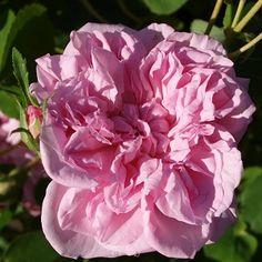 May Queen - Historisk skyggetålende klatrerose -  Lys rosa blomster- Tætfyldte blomster med stærk og frisk duft.-Blomstrer utrolig rigt fra slutningen af juni til slutningen af juli - kan remontere senere på sæsonen.-Bliver op til 3 m. høj - Sol-halvskygge