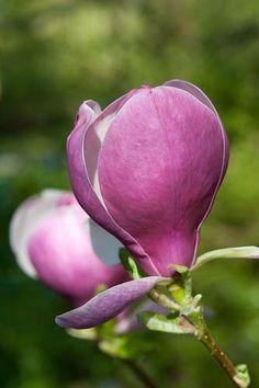 Magnolia x soulangeana 'Lennei'