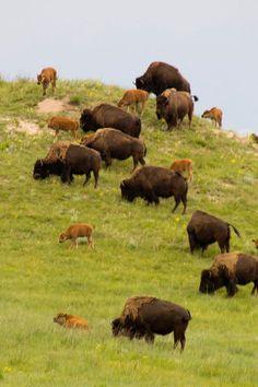 Nebraska Sandhill's bison.