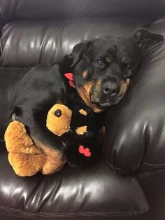 Everything About The Loyal Rottweiler Puppies Cute Puppies, Cute Dogs, Dogs And Puppies, Doggies, Chihuahua Dogs, Big Dogs, I Love Dogs, Canis Lupus, Baby Animals