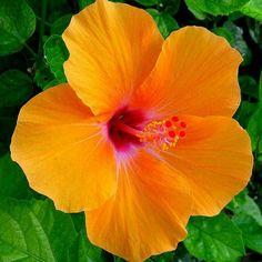 """81 lượt thích, 2 bình luận - Randy Hilarski  Panama (@randyhilarski) trên Instagram: """" Hibiscus of the Day   #Hibiscus #Flowers #Flor #Instaflowers #HibiscusoftheDay #Nature…"""""""