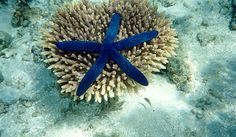 Blue Starfish, Great Barrier Reef