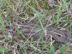 Grass snakes....that's all we have up here...