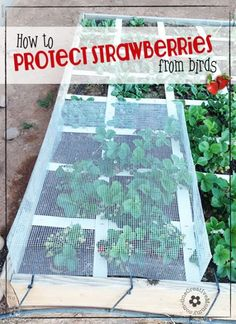 Do birds get to eat more strawberries from your garden than you do?  Learn how to protect strawberries from birds with my strawberry cage tutorial {OneCreativeMommy.com}