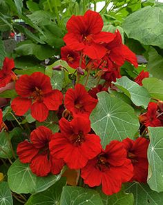 'Empress of India' - via Annie's Annuals in a posting on edible ornamentals.Nasturtium 'Empress of India' - via Annie's Annuals in a posting on edible ornamentals. Beautiful Flowers Garden, Love Garden, Exotic Flowers, Love Flowers, My Flower, Beautiful Gardens, Hibiscus, Annual Flowers, Deco Floral