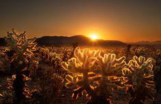 Cacti glowing in the setting sun
