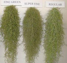 他の品種との特徴を比較 regular : 当社製品 チランジア ウスネオイデス