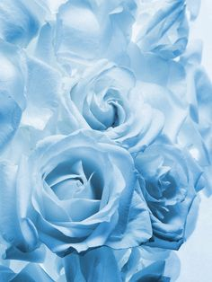 RP:  Baby Blue Roses