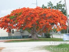 51 Best Flamboyant Flowering Trees Images Flowering
