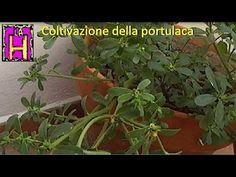 Coltivazione della portulaca. Ricette con la portulaca. Portulaca Oleracea.