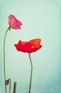 Floral Photography Red and Pink Poppy Flower Home Decor 8x12 Print Poppies via Etsy