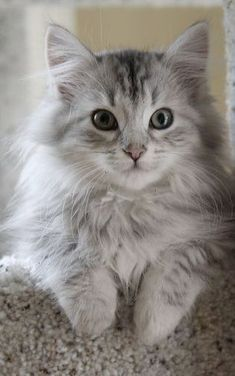 Siberian kitten \/\/ Find Out More About Cats in Ozzi Cat Magazine >>