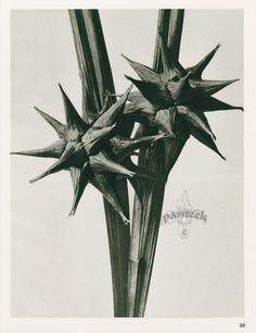 from Karl Blossfeldt Photogravures Urformen der Kunst 1929