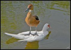 ce canard qui a tout compris