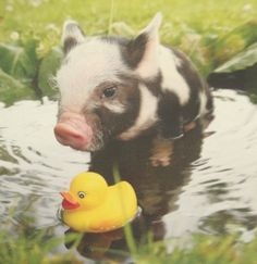 Just a piggy and his duck