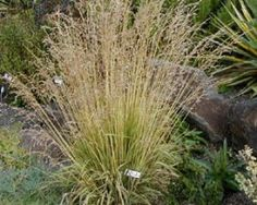 molinia-caerulea-variegata-300-002