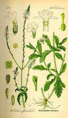 Fiche complète sur l'utilisation de la verveine officinale (Verbena officinalis) en tant que plante médicinale, indications spécifiques et dosages.
