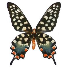 endemic to Madagascar, the Madagascan Giant Swallowtail, Pharmacophagus antenor, belongs to the family Papilionidae. This butterfly has a wing span of 12-14 cm. The larvae are monophagous (eating only one kind of food) on Native Dutchman's Pipe, Aristolochia acuminata. Photo from butterflyutopia.com