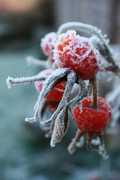 Rose hips in the frost
