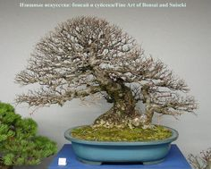 Bonsai (Species Unknown)