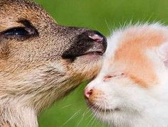 AWWWWWW.... *heart melts.* | This Photo Of A Kitten And Baby Deer Snuggling Will Warm Your Heart