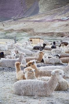 Alpacas in Peru - #Alpacas #RainbowMountain