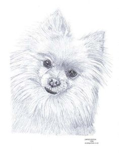 Pomeranian Pencil Sketches | Details about POMERANIAN dog pencil drawing Limited Edition picture ...