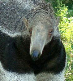 I never knew a Giant Anteater had such a pretty face! Animal 2, Mundo Animal, Happy Animals, Cute Animals, Detroit Zoo, Giant Anteater, Fox Dog, Sea Creatures, Beautiful Creatures