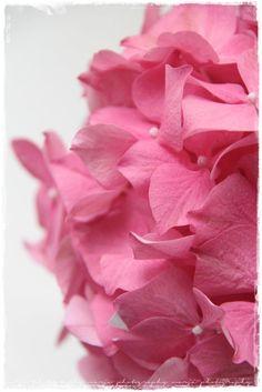 hortensia rose - #fleurs #mariage