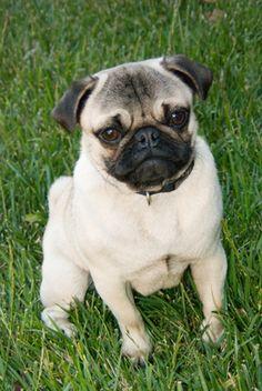 Síntomas de encefalitis relacionados con epilepsia en perros de raza Pug | eHow en Español