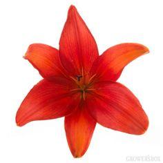 GrowersBox.com: Flowers: Asaitic Lilies Burnt Orange 120 Stems: Wholesale Flowers