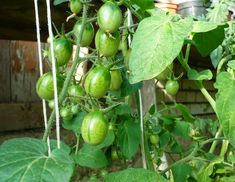 Garden Plants, Gardening Tips, Fruit, Vegetables, Blog, Plants, Vegetable Recipes, Blogging, Veggies