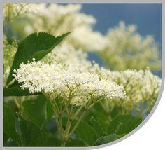 Fekete bodza | Gyógynövények - Virida.hu Parsley, Herbs, Plants, Food, Eten, Herb, Planters, Meals, Plant