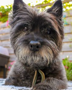 Cute Donny is looking a bit disappointed or is this just his lovely pose...  .... Toto, Cairn Terriers, Cairns, Westies, Little Dogs, Scottie, Dog Pictures, Yorkie, Fur Babies
