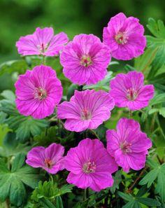 Geranium sanguineumBlodstorkenebb Geranium Sanguineum, Northern England, Geraniums, Dream Garden, Planting, Wild Flowers, Landscape, Magenta, Bees