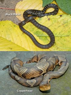copperhead snake pictures | Baby Black Copperhead Snake I'd so take a hoe to it and kill it either that or loppers