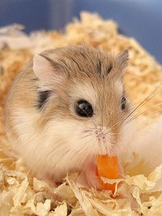 You can feed your hamster a small amount of fresh fruit or vegetables one to three times a week.