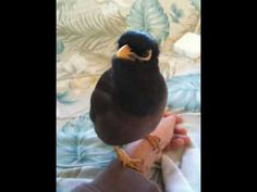 """This is Incredible!! Morning Talk with my Mynah """"Kaleo"""" http://1502983.talkfusion.com/demos/"""