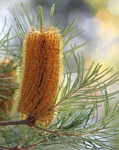 Native banksia flower,
