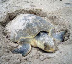 Nesting_sea_turtle-285