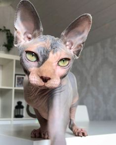 13 Convincingly Cute Sphynx Cats - Belezza,animales , salud animal y mas Sphynx Gato, Chat Sphynx, Sphynx Cat Tattoo, Pretty Cats, Beautiful Cats, Animals Beautiful, Cute Hairless Cat, Cat Anime, Photo Chat