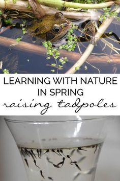 Raising Tadpoles Collecting and raising frog spawn to froglets in your own home. Simple low cost Nature activity for kids to do in Spring at home or in the classroom Kindergarten Science, Teaching Science, Science For Kids, Science And Nature, Nature For Kids, Science Biology, Science Fun, Teaching Ideas, Animal Science