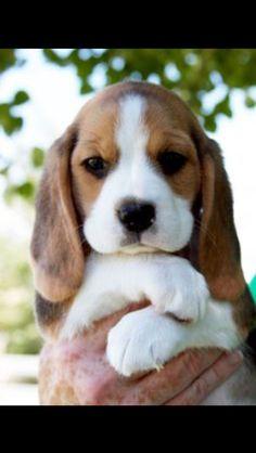 Teacup beagle puppy so cute!! (: